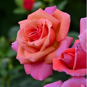 A Rose By Any Other Name2.jpg